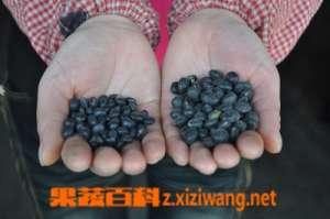 黑豆种类区别