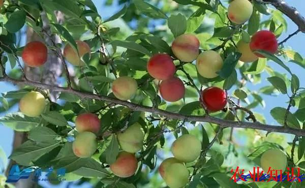 浇水不浇水 果树说了算